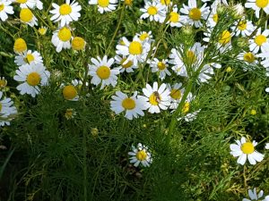 Biene auf Margaritenblüte